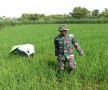 Matun, Babinsa Turun Sawah Bantu Petani Bersihkan Gulma