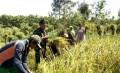 Wujud Nyata Peran Babinsa Dalam Pendampingan Petani Mulai Dari Tanam Hingga Panen Padi