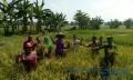 Masa Panen Tiba, Babinsa Bersama BPP Mojoanyar Lakukan Pengubinan