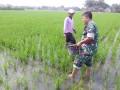 Babinsa Koramil 0814/01 Kota Bantu Pemupukan Padi