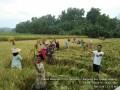 Poktan Mekarsari 2 Bangeran Panen Raya Capai 6,73 Ton/Ha