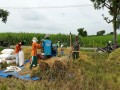 Panen padi meningkat Berkat pendampingan babinsa dalam mewujudkan Swasembada pangan