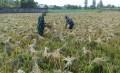 Upaya Khusus Babinsa Dalam Mensukseskan Program Swasembada Pangan Dalam Pendampingan Panen Padi