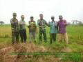 Koramil 0815/02 Trowulan Bersama PPL Dampingi Poktan Pengubinan Padi Di Dua Desa