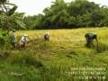 Babinsa Koramil 0815/07 Jetis Dampingi Panen Padi Di Empat Desa