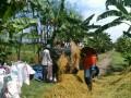 Gencar Dukung Swasembada Pangan, Babinsa Dampingi Petani Panen Padi