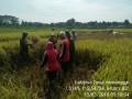 Bersama PPL, Babinsa Koramil 09/Mojosari Panen Padi Di Menanggal