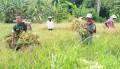 Danramil 0815/07 Jetis Terjun Langsung Dalam Pendampingan Panen Padi