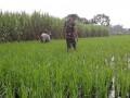 Babinsa Dawarblandong Dan Petani Lakukan Perawatan Tanaman Padi