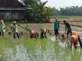 Poktan Harapan Tani Desa Pucuk Tanam Padi Didampingi Babinsa Koramil 0815/08 Dawarblandong