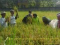 Babinsa Koramil 06/Kemlagi Bersama PPL Dampingi Pengubinan Poktan Tani Lembaga-1 Desa Betro