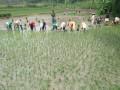 Tanam Padi Serentak di Wilayah Koramil 0815/08 Dawarblandong