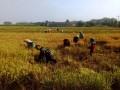 Poktan Tani Mulyo Desa Karang Kedawang Panen Padi Varietas Ciherang