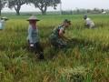 Babinsa Koramil 0815/04 Puri Dampingi Pengolahan Lahan & Panen Padi