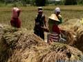 Sukseskan Swasembada Pangan, Babinsa Sukosari Bantu Petani Panen Padi