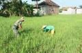 Babinsa Koramil 0815/08 Dawarblandong Dampingi Petani Merawat Tanaman Padi