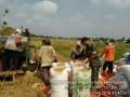 Babinsa Koramil 0815/13 Kutorejo Dampingi Panen Padi Serentak  Di Tiga Desa