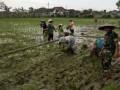 Upaya Percepat Peruses Tanam Padi Babinsa Damping Petani Tanam Dengan Turun Langsung Kesawah