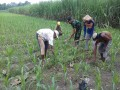 Babinsa Koramil 0814/18 Jogoroto Bantu Pembersihan Rumput Dan Pemupukan