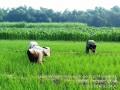 Jaga Kesuburan Tanaman Padi Babinsa Bersama Petani Cabuti Gulma