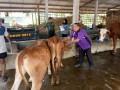 Pelayanan Kesehatan Ternak Terpadu Di UPPO Koramil 0815 – Jetis