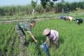 Optimalkan Hasil Panen, Babinsa Koramil 0815/Puri Dampingi Poktan Di Dua Desa