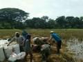 Semangat Serka Suma hadi dalam membantu petani panen Padi