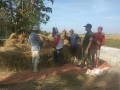 Hasil Panen Meningkat Berkat Pendampingan Babinsa Mulai Dari Tanam Hingga Panen Padi