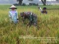 Babinsa Koramil 0815/04 Puri Dampingi Petani Panen Padi Ciherang