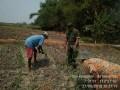 Babinsa Kenanten Koramil 0815/04 Puri Dampingi Petani Perawatan Tanaman Jagung