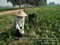 Dukung Ketersediaan Komoditas Pangan Koramil 0815/04 Puri Dampingi Petani Jagung