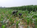 Babinsa Banjaragung Dampingi Petani Merawat Tanaman Jagung
