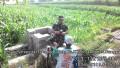 Motivasi Petani Babinsa Koramil 0815/14 Dlanggu Dampingi Perawatan Tanaman Jagung