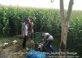 Babinsa Koramil 0815/14 Dlanggu Lakukan Pengamatan Hama Tanaman Jagung