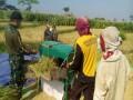 Babinsa Koramil 0815/16 Pacet Dampingi Poktan Mekar Sari-2 Panen Padi
