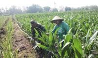 Dua Babinsa Koramil 0815/07 Jetis Dampingi Petani Rawat Tanaman Jagung
