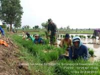 Babinsa Koramil 0815/08 Dawarblandong Bantu Petani Pengolahan Lahan & Tanam Padi
