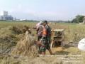 Babinsa Tunggal Pager Koramil 0815/11 Pungging Dampingi Poktan Margi Mulyo Panen Padi