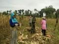 Petani Penuh semangat ketika Babinsa bantu petani panen jagung
