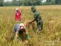 Dukung Ketersediaan Pangan,  Babinsa Koramil 05/Gedeg Kawal Panen Padi