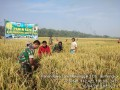 Koramil 0815/15 Bersama BPP Jatirejo Dampingi Panen Raya Di Desa Sumengko