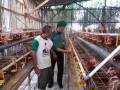 Babinsa Koramil 0814/10 Mojoagung Cek Kebersihan Ayam Petelur